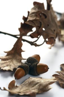 Free Acorn Isolated Stock Photo - 4340590