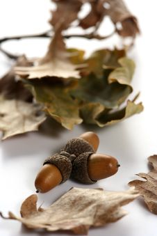 Free Acorn Isolated Royalty Free Stock Photography - 4340877