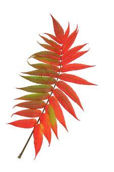 Free Scarlet Rowan Leaf Royalty Free Stock Images - 4341129
