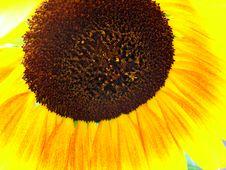 Free Sunflower Stock Photos - 4341563