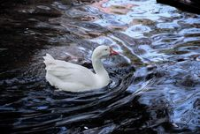 Free Duck In A Lake Stock Photo - 4341990