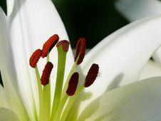 Free White Lily. Pestles And Stamens. Stock Photos - 4342433
