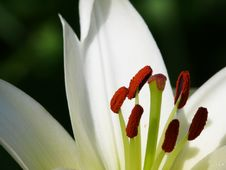 Free White Lily. Pestles And Stamens. Royalty Free Stock Images - 4342529