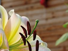 Free White Lily. Pestles And Stamens. Stock Images - 4342694