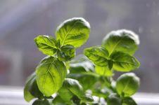 Green Herb Stock Photos