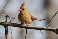 Free Northern Cardinal (Cardinalis,cardinalis) Royalty Free Stock Photography - 4343657