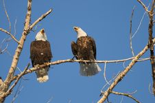 Free Bald Eagles Greating Each Other Stock Image - 4344211
