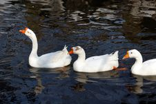 Free Several Gooses Royalty Free Stock Images - 4344599