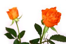Free Rose Stock Images - 4345624