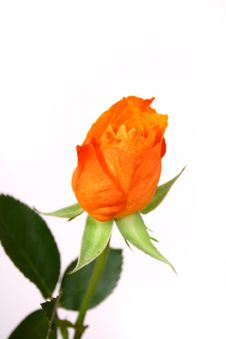 Free Rose Stock Images - 4345674
