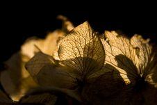 Free Dead Hydrangea Stock Photos - 4345833