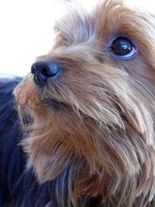 Free Yorkshire Terrier Stock Photos - 4345943