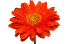 Free Orange Gerber Stock Images - 4346664