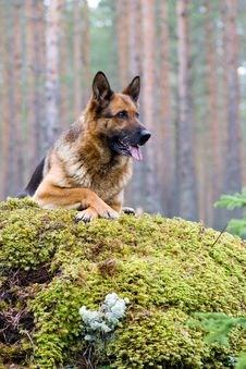 Germany Sheep-dog Stock Images