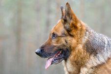 Free Germany Sheep-dog Stock Photography - 4347312