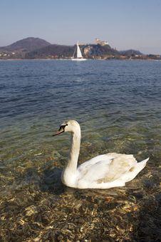 Swan At Lake Royalty Free Stock Photos