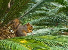 Free Red Squirrel Stock Photography - 4348152