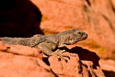 Free Lizard Stock Images - 4348504