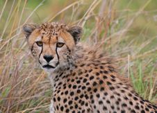 Free Cheetah Portrait Royalty Free Stock Photo - 4349105