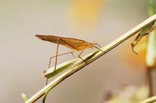 Free Yellow Katydid Royalty Free Stock Photography - 4349847