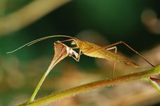 Free Katydid Royalty Free Stock Images - 4349849