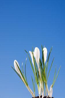 Free White Crocus Stock Photo - 4349970