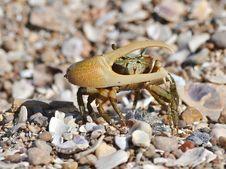 Free Fiddler Crab Royalty Free Stock Photos - 43410818