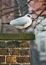 Free Seagull Stock Photography - 4353372