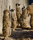 Free Meerkats Royalty Free Stock Images - 4356219