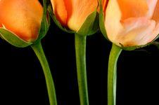 Free Pink Roses Stock Photos - 4350023