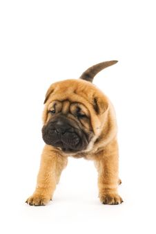 Funny Shar Pei Puppy Royalty Free Stock Photo