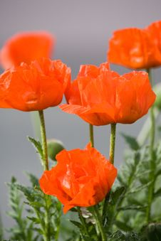 Free Red Poppies Royalty Free Stock Photo - 4350705