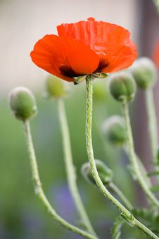 Free A Poppy Royalty Free Stock Photography - 4350717