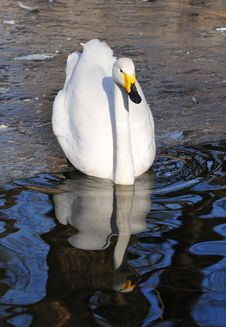 Free Swan Stock Image - 4351461