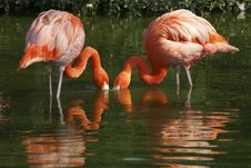 Free Flamingo Couple Royalty Free Stock Photo - 4353455