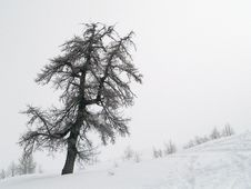 Free Trees In Snow Royalty Free Stock Photo - 4353825