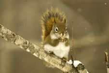 Free Winter Squirrel Stock Images - 4353994