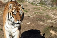 Free Tiger Royalty Free Stock Photography - 4354667