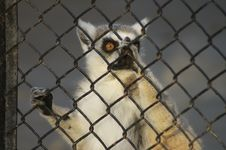 Free Lemur Wants Freedom Royalty Free Stock Images - 4354709