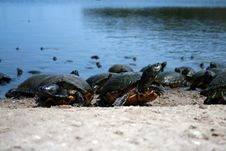Free Turtles Walking On Shore Royalty Free Stock Photo - 4356005