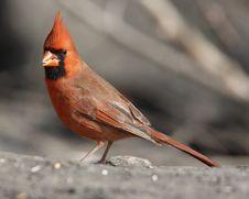 Northern Cardinal (Cardinalis,cardinalis)