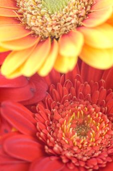 Free Gerbera Detail Royalty Free Stock Photography - 4357007