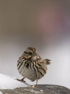 Free House Sparrow Royalty Free Stock Photos - 4357528