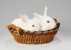 Free Albino Rabbit Stock Photography - 4357562