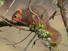 Free Fox Squirrel Royalty Free Stock Photo - 4357865