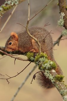 Free Fox Squirrel Stock Photography - 4357882