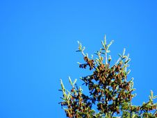 Free Pine Tree Royalty Free Stock Photos - 4359508