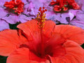 Free Red Hibiscus Royalty Free Stock Photography - 4367687