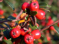 Free Red Berries Stock Photo - 4368860