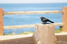 Free Brewer S Black Bird Stock Images - 4361044